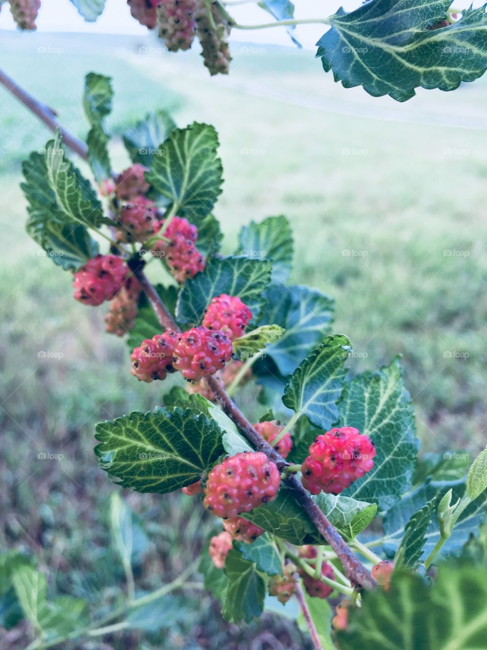 Closeup of bright pink mulberries ripening on a branch, with a blurred view of a rural background
