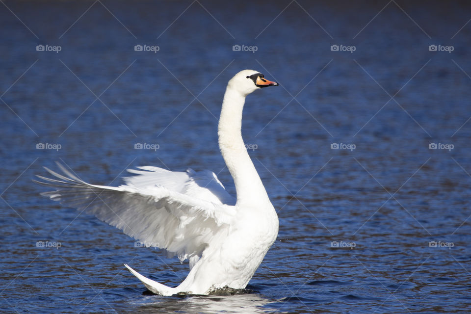 Swan spreads its wings at lake