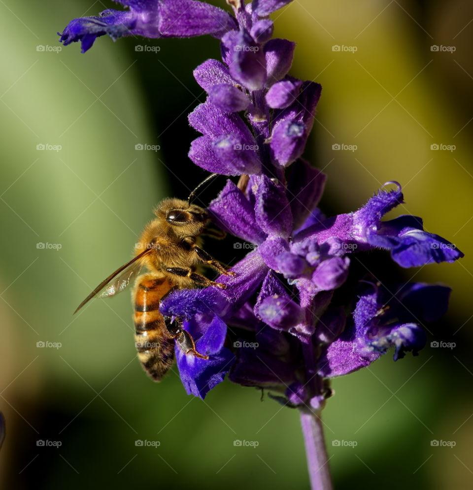 Bee enjoys a purple flower