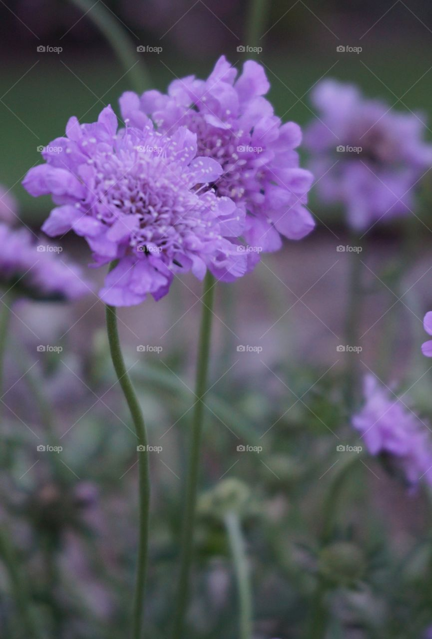 Close up focus and blurred background of purple flowers and their stalks