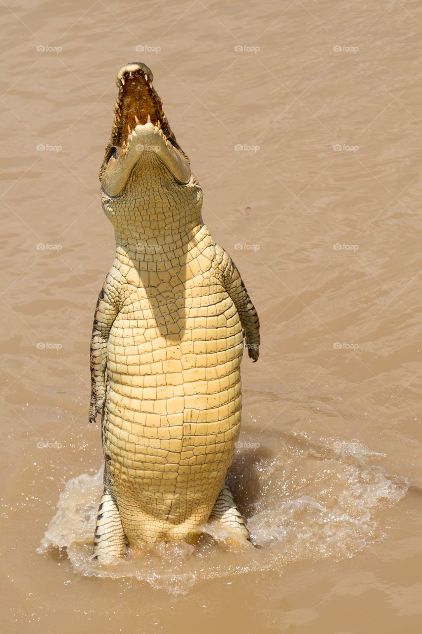 Salt water alligator jumps. Salt water alligator jumps high from the water. Rear legs on top of water level. Jumping crocodiles in Australia. Belly