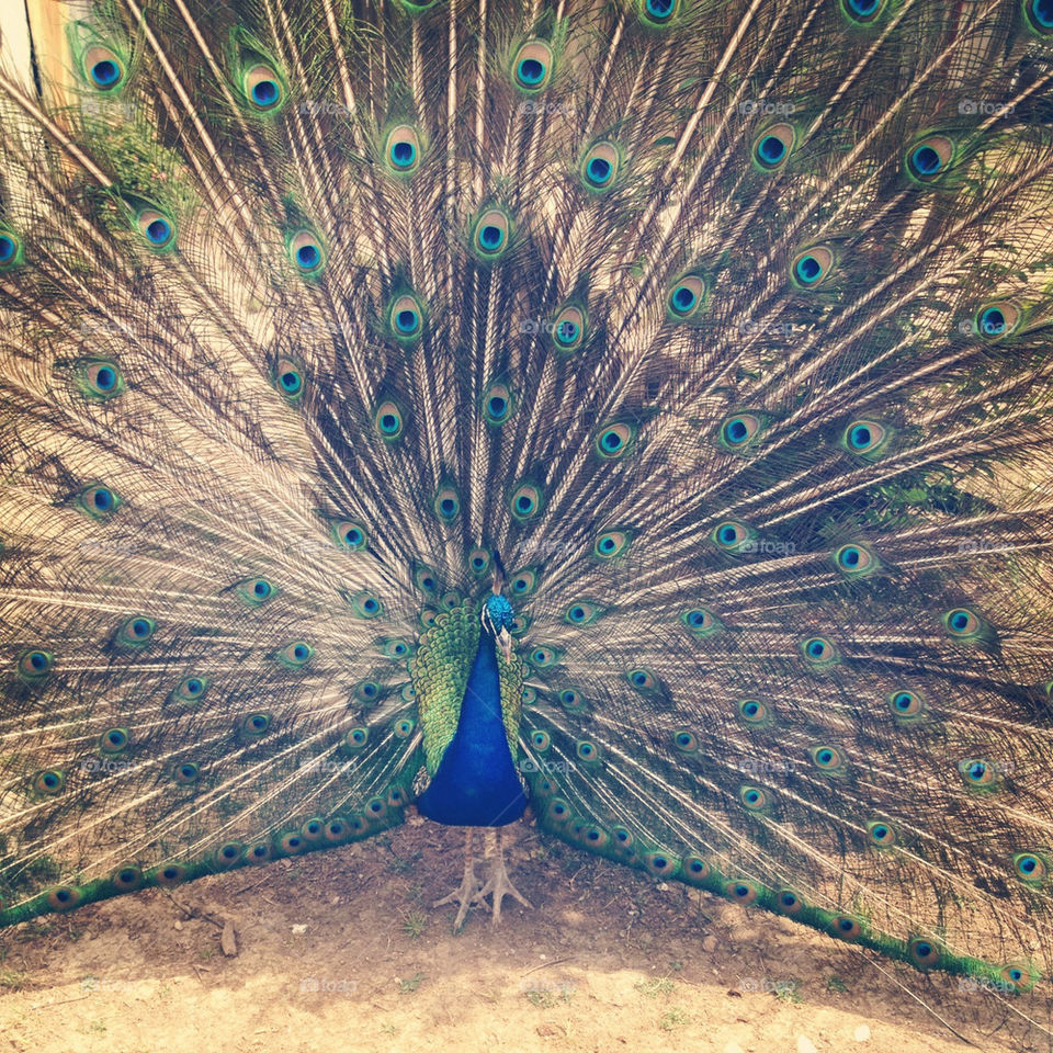 green blue gorgeous peacock by jodimisaac