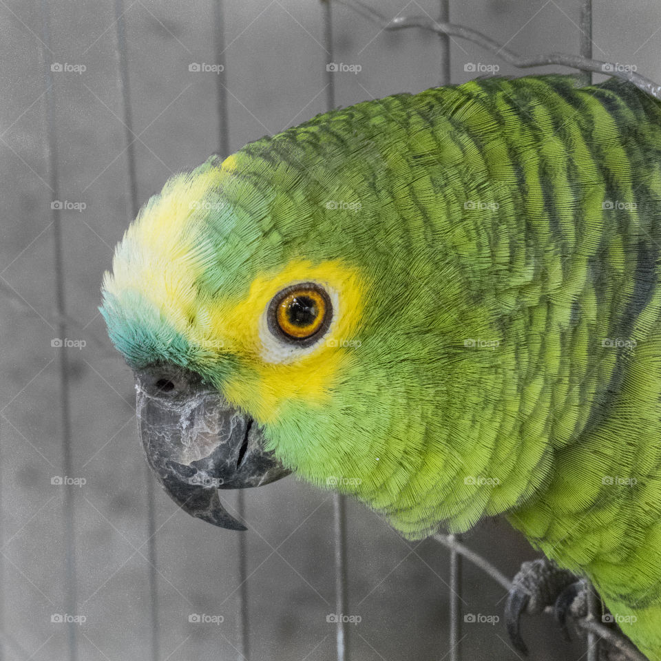 Pancho, the Parrot