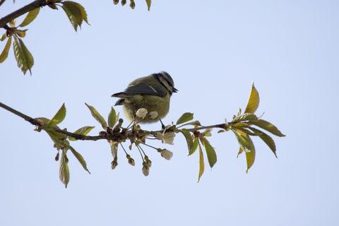 Little blue tit bird on blooming branch . Fågel blåmes blommande trädgren