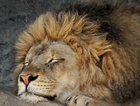 animal lion naptime sleping by landon
