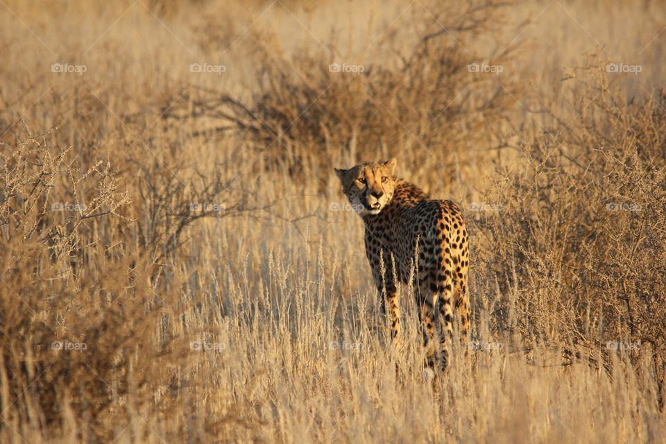 Sunshine cheetah