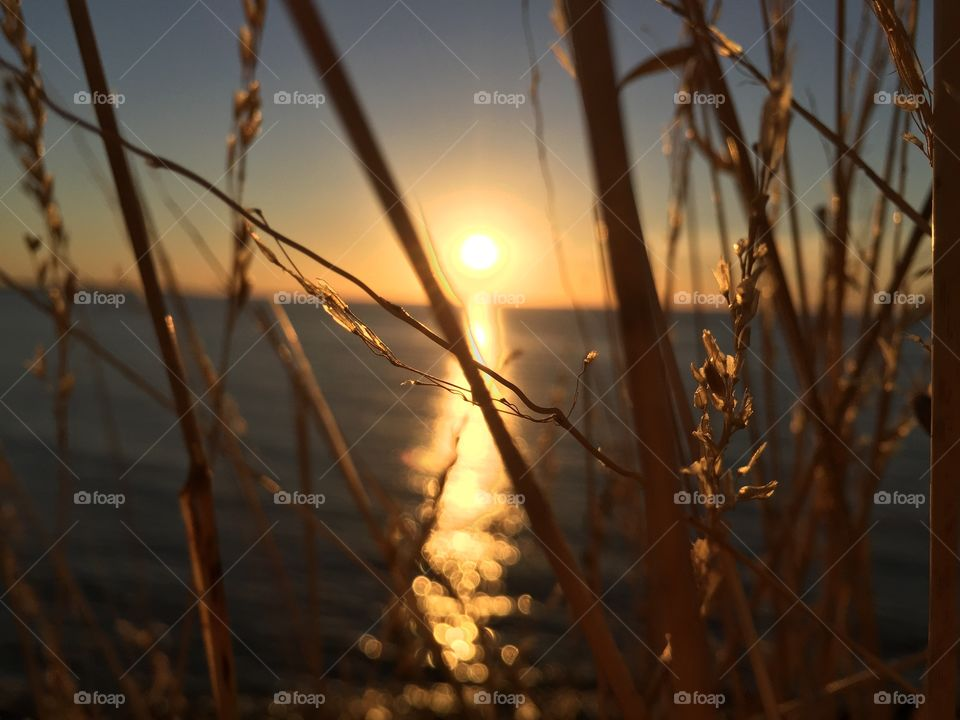 Reed grass during sunset