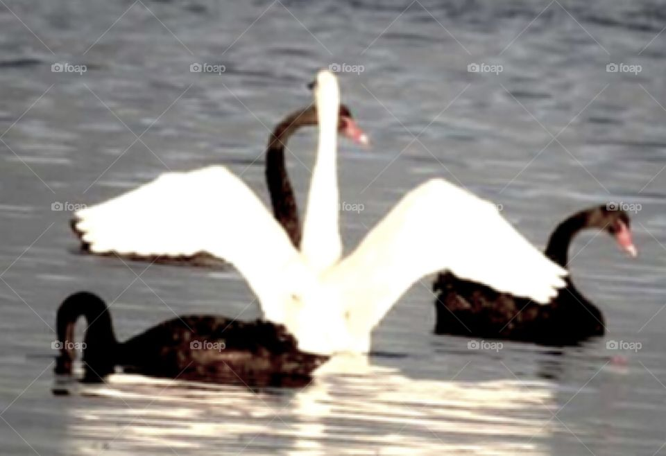 Who is this trouble making white imposter blocking the view of the graceful black beauties?