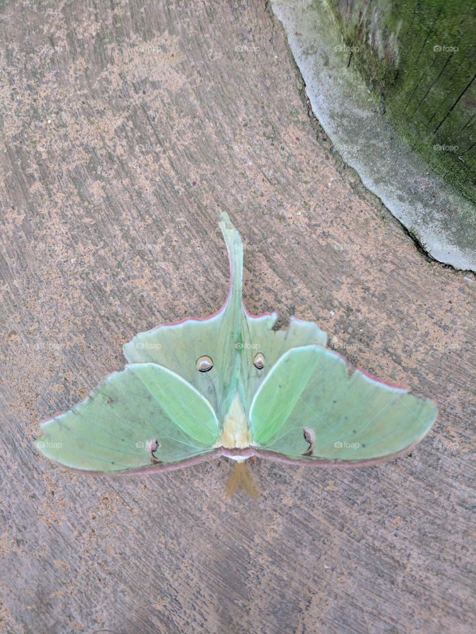 beautiful green moth
