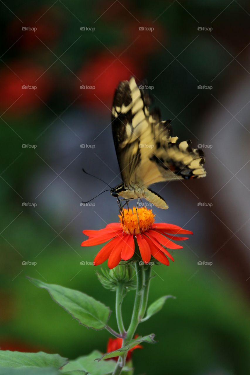 Yellow and. Lack butterfly atop a flower motion wings flapping macro