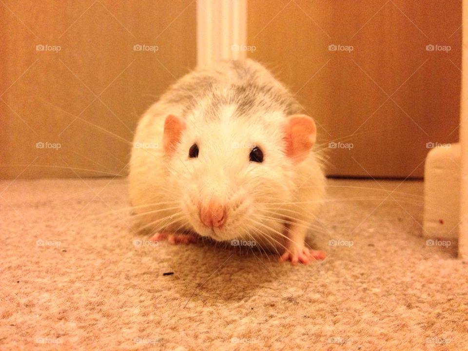 Nosey cute pet rat.