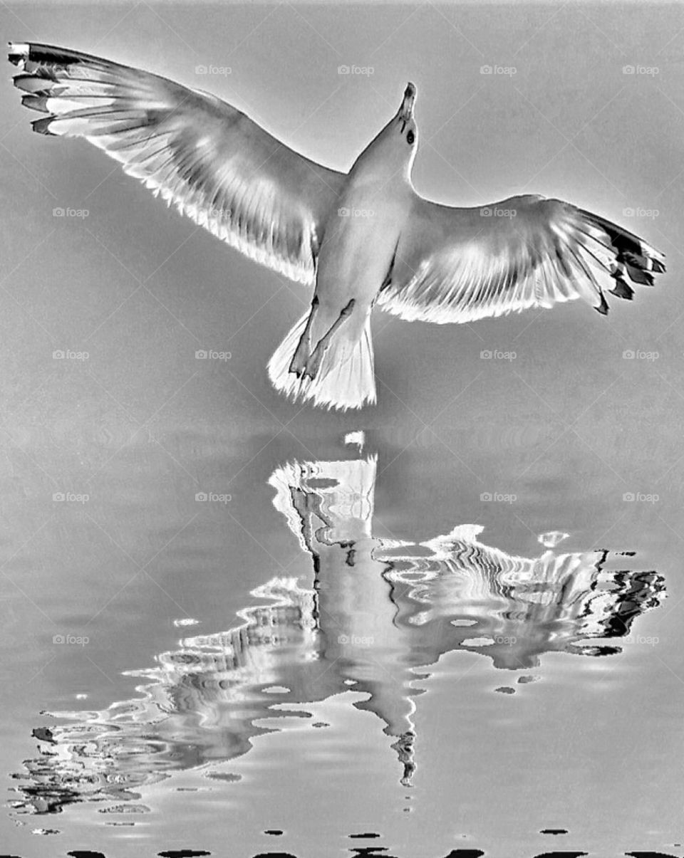 Flying seagulls | flying seagulls, spikerbagger, bw, reflection