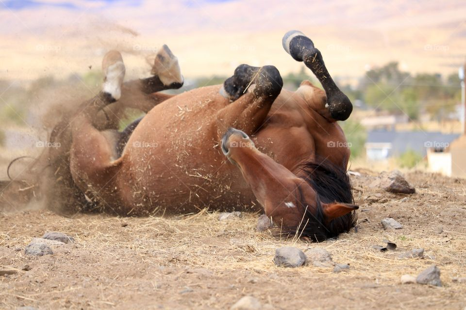American Wild Mustang mare rolling in the dust