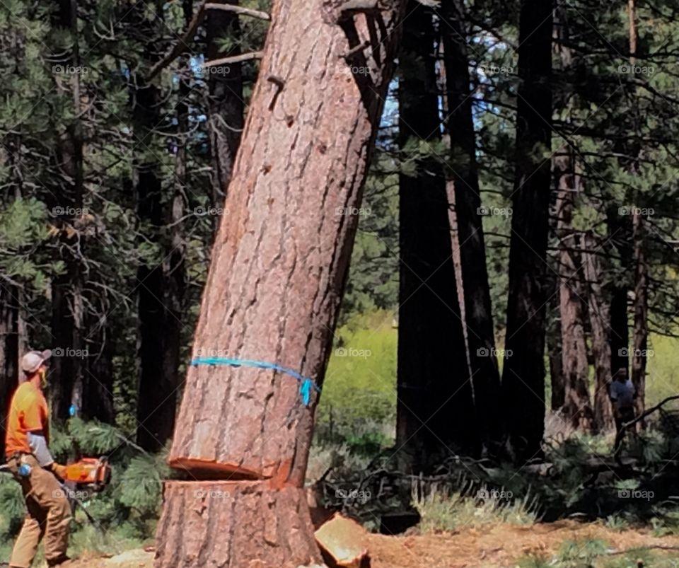 Fall of a tree