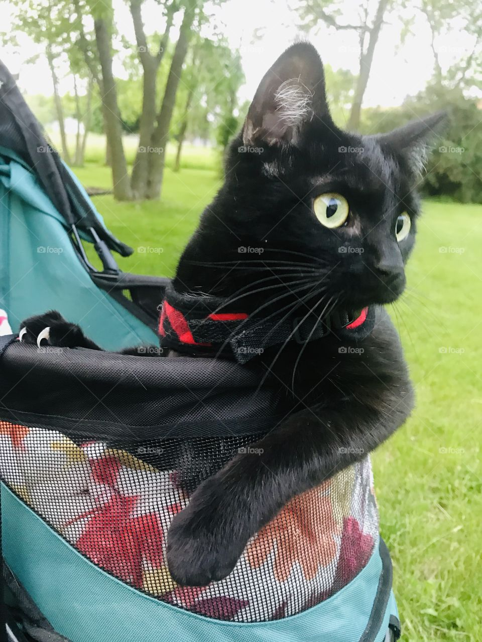 Darling little black kitty sitting in her stroller with her harness on ready for an evening ride!!