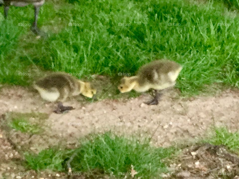 Adorable Canada geese chicks