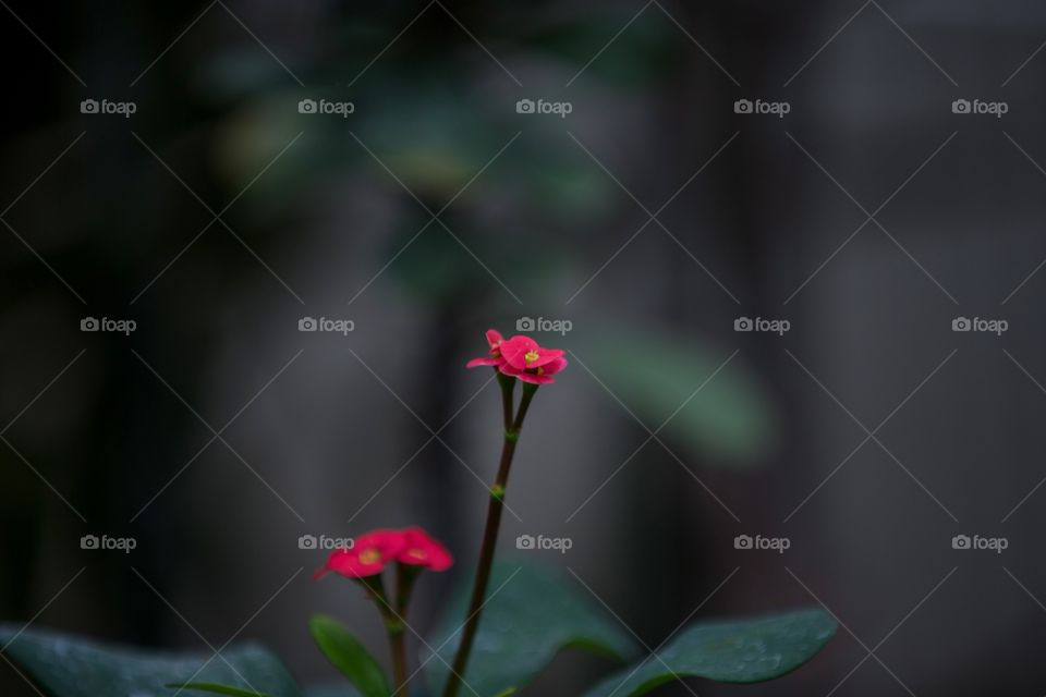 Two single red flowers against dark background. Minimal