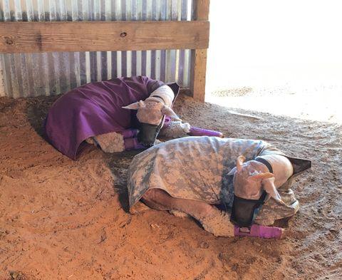 Show lambs sleeping in the barn.