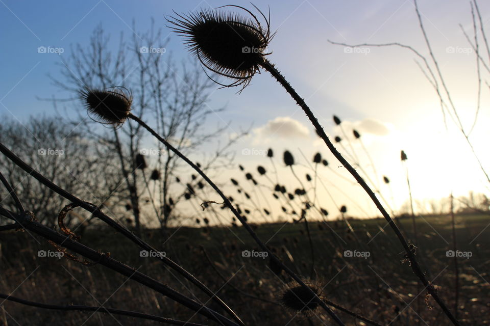 Teasels at sunset. Teasels at sunset in silhouette profile