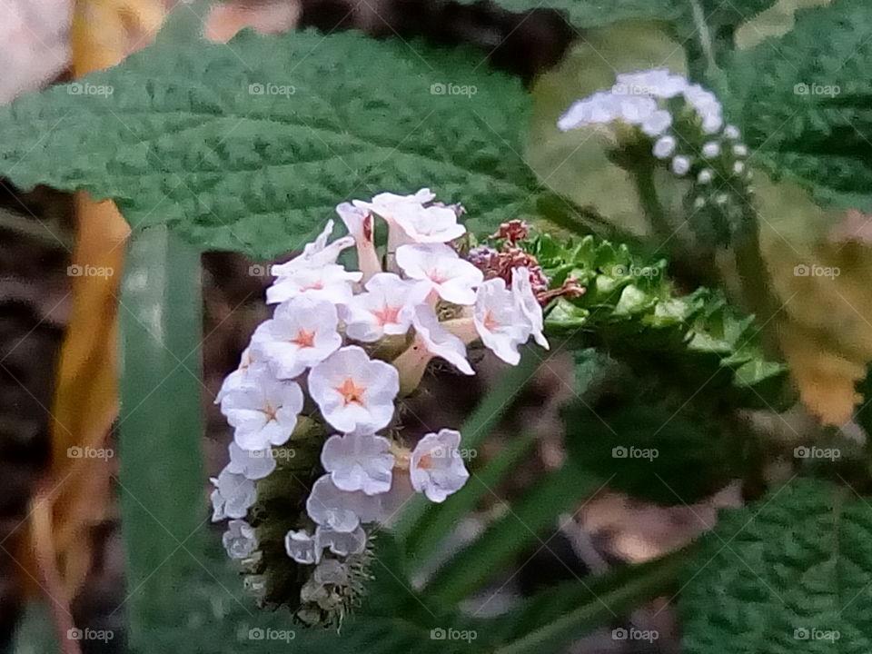 flower 2017/09/28  007  #আমার_চোখে #আমার_গ্রাম #nature #flower #eukaryota #plantae #angiosperms #eudicots
