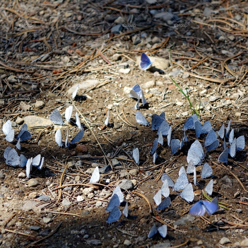 Group of blue butterflies on ground