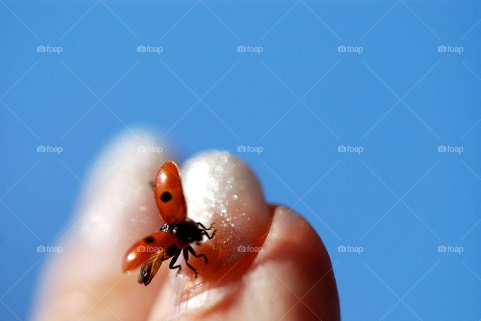 Ladybird visits my nail