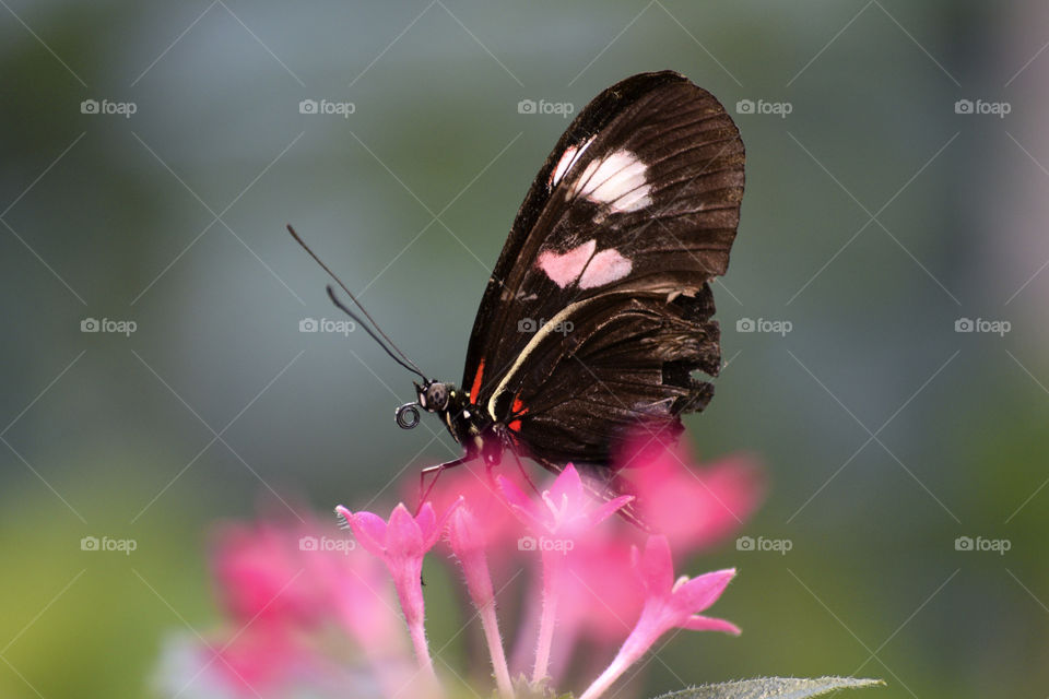 Butterfly on pink spring flower blossoms