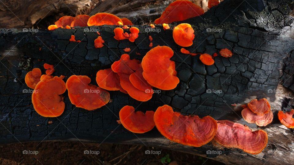 Mushrooms on burnt firewoods