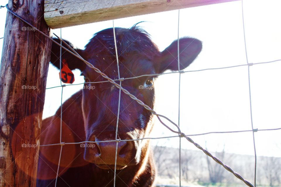 Curious steer peeking through a wire fence on a bright, sunny early spring day