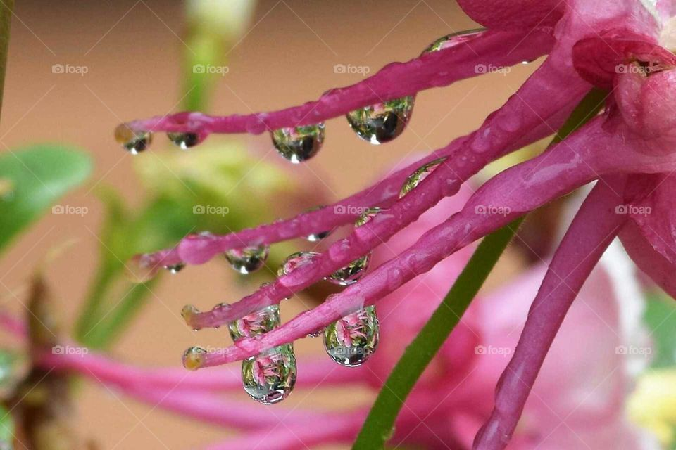 raindrops on Columbine pink flowers April 15th 2018 beautiful Reflections in raindrops