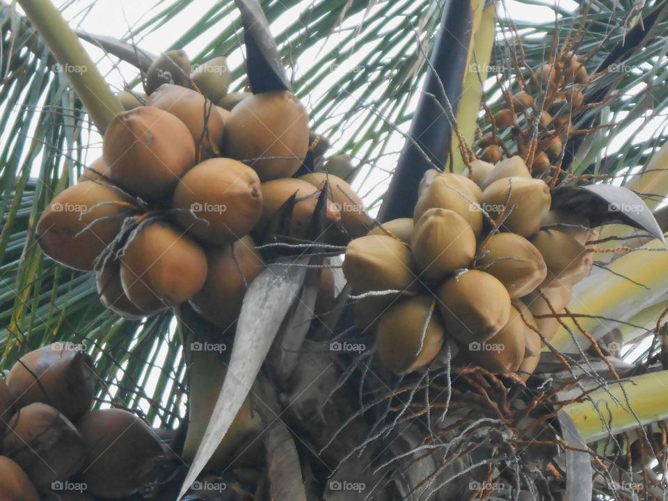 Closeup od Coconut on Tree