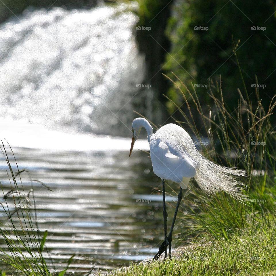 Great Egret in full breeding plumage, fishing