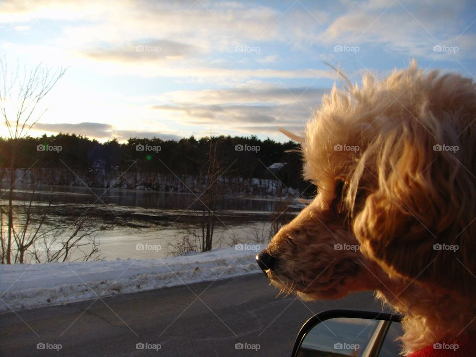 Dog looking out car window towards pond at sunset/sunrise. Winter with snow on edge of water.