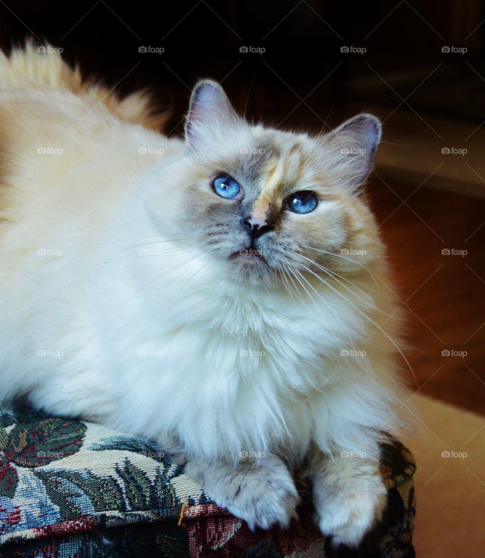 White ragdoll cat