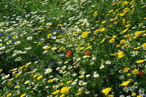 Field of daisies and other wild flowers