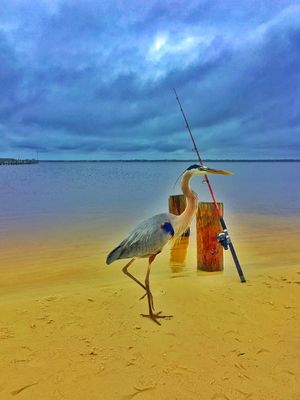 Heron hoping for handout from fisherman