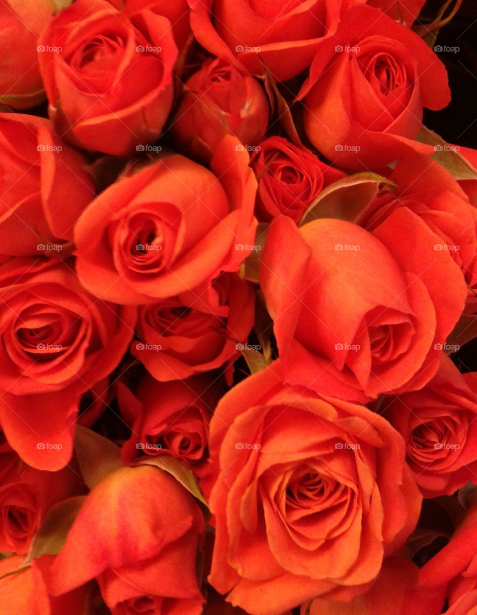 Passionate Flower. Red roses will make most women deeply moved.