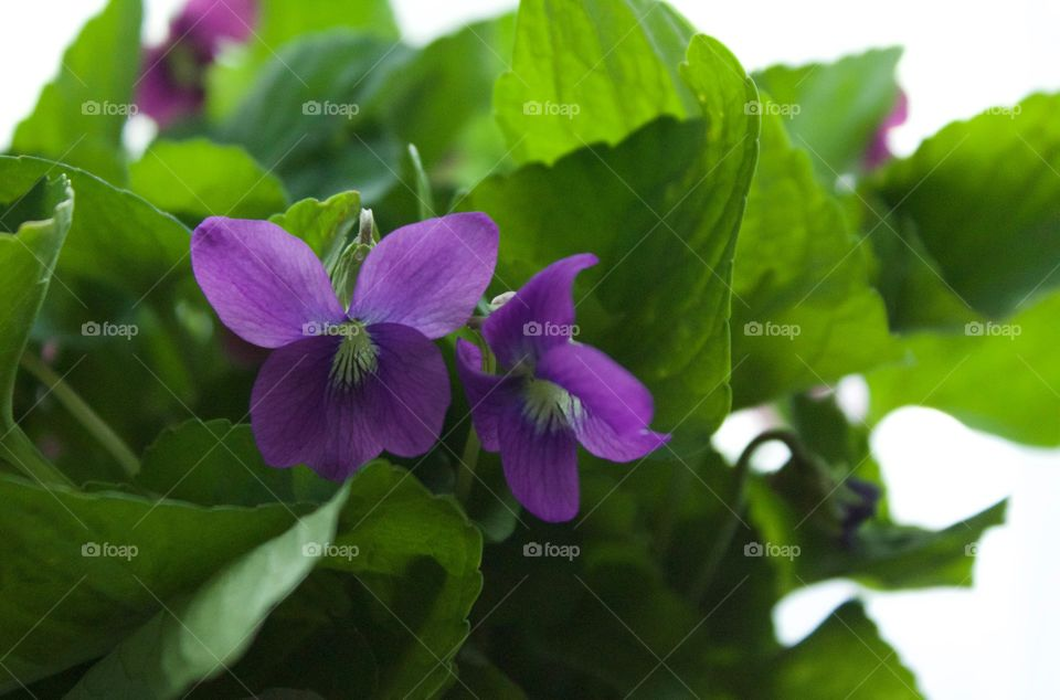 Backlit isolated view of purple violets