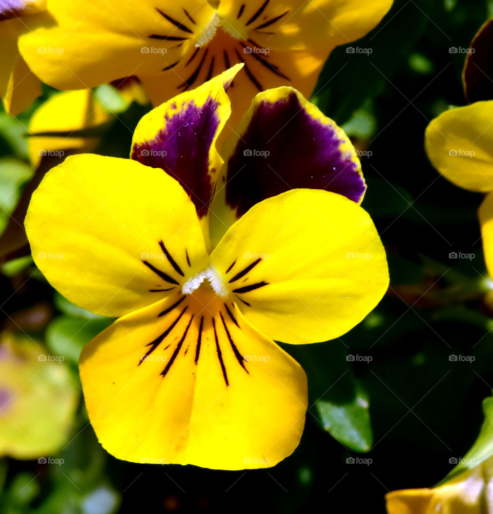 Close-up of yellow pansy flower