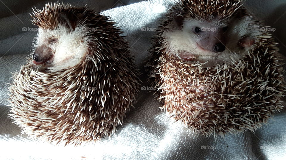 Sleepy Hedgehogs