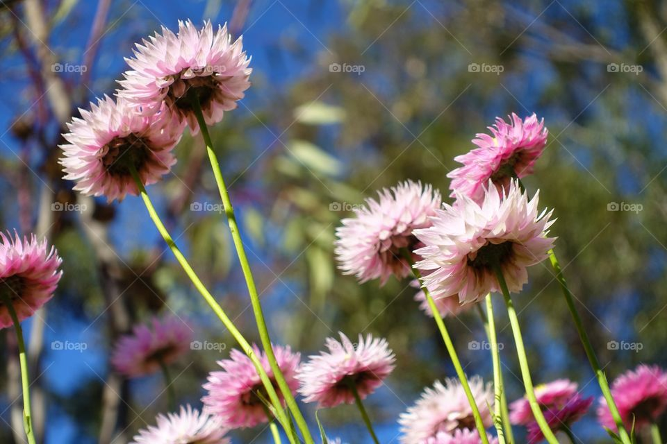 Australian daisy, pink everlastings from below with blue sky and trees.