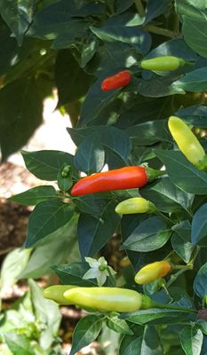 Chili Peppers Plant/Tree