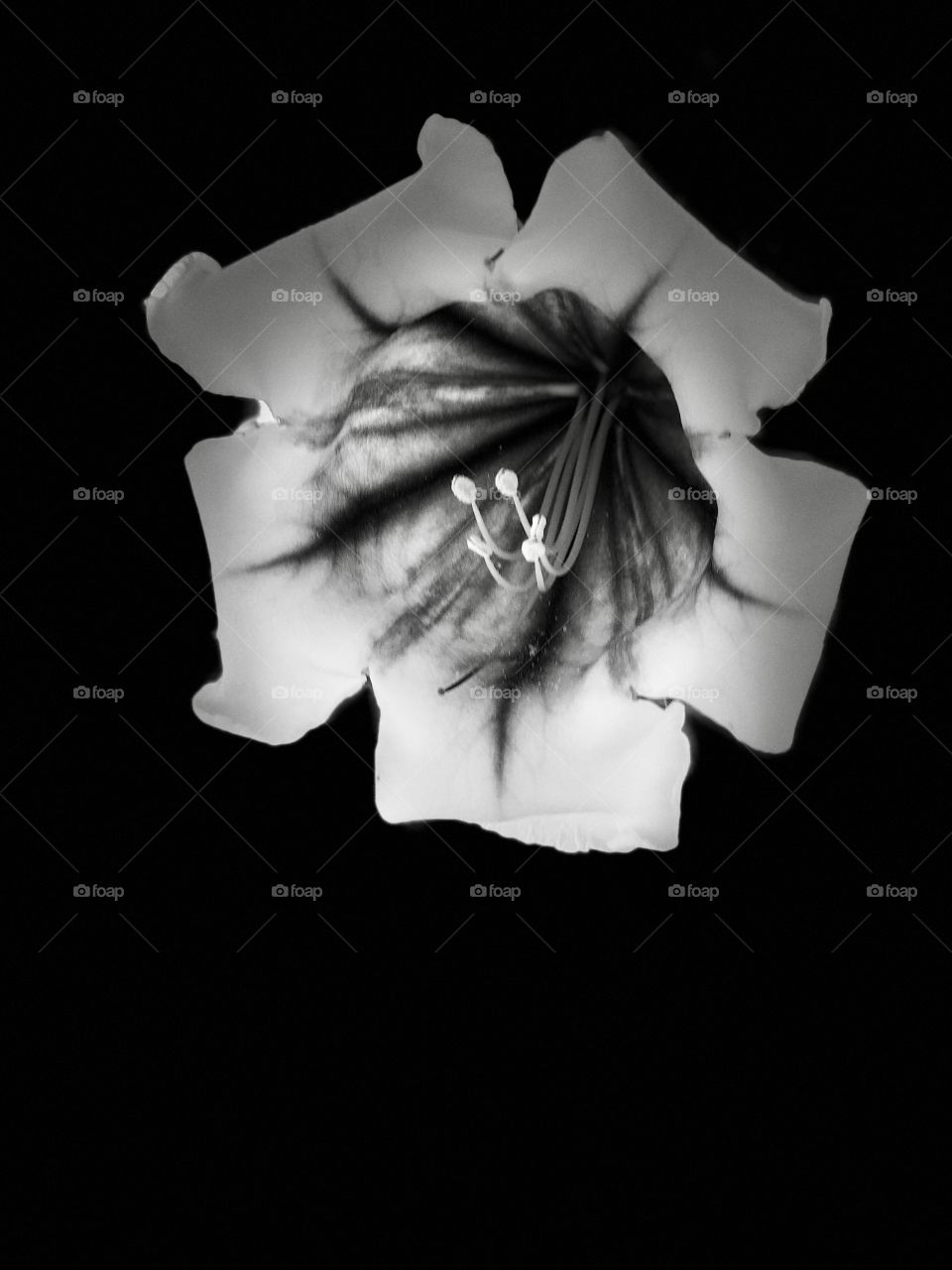 Absolutely Gorgeous Giant Golden Cup Flower with Black Background. Perfect Canvas Art.