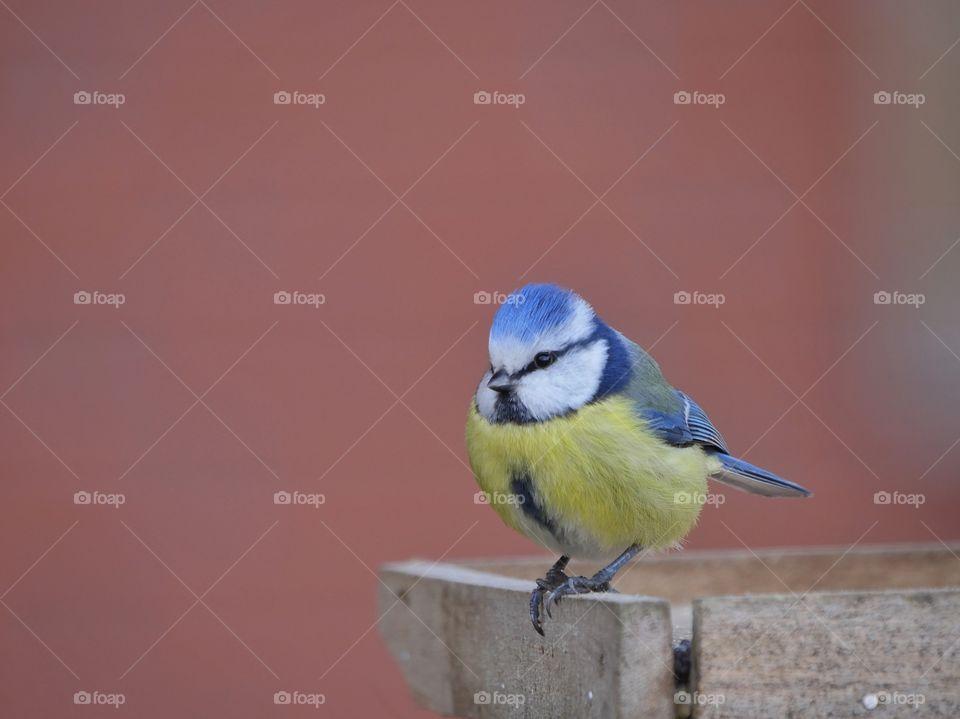 Portrait of Eurasian blue tit